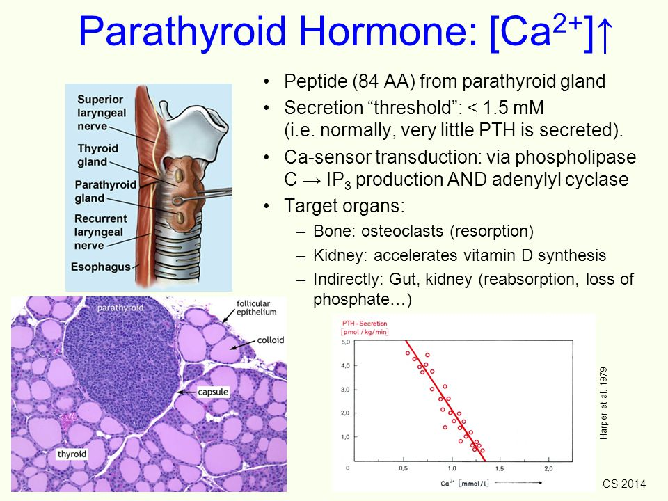 Parathyroid Hormone: [Ca2+]↑